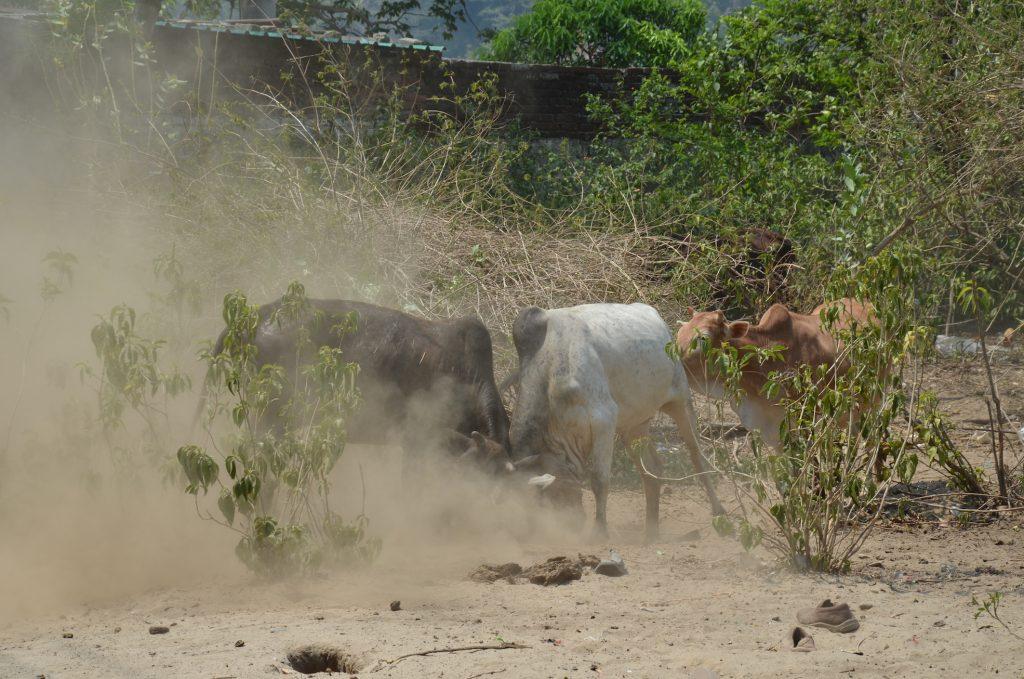 бой быков коровы ришикеш